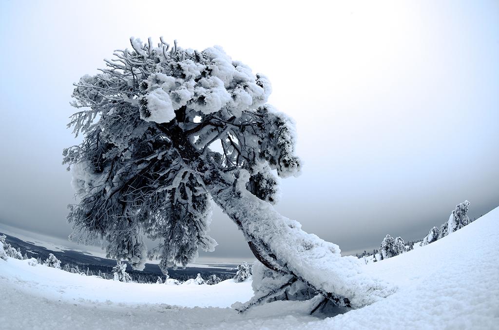 Los árboles de Riisitunturi